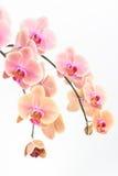 De orchideeën van perzikphalaenopsis sluiten omhoog Stock Fotografie