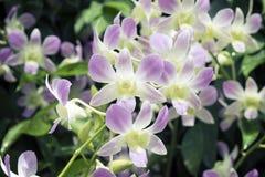 De orchideeën van Singapore Royalty-vrije Stock Foto
