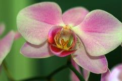 De orchidee Royalty-vrije Stock Foto