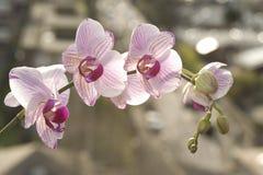 De orchidee Royalty-vrije Stock Fotografie