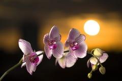 De orchidee Stock Fotografie