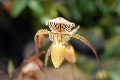 De Orchidee stock foto's