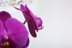 De orchidee bloeit close-up op een witte achtergrond Kleur van fuchsia Royalty-vrije Stock Foto