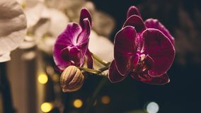 De orchidee bloeit het bloeien tijdtijdspanne stock video