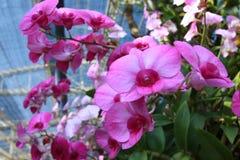 De orchidee in de tuin Stock Foto