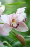 De orchidee en de knop Stock Foto's