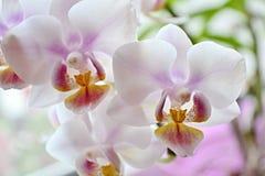 De orchidee Phalaenopsis is een zachte en lichte kleur - witte en roze impregnaties royalty-vrije stock foto