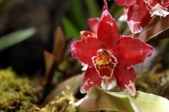 De orchidee uit de Amazone Stock Fotografie