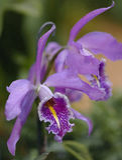 De orchidee van Cattleya Royalty-vrije Stock Foto