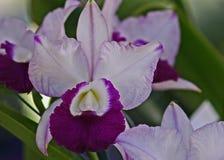 De orchidee van Cattleya Royalty-vrije Stock Foto's