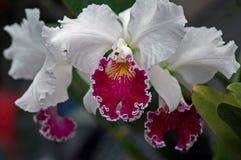 De orchidee van Cattleya Royalty-vrije Stock Afbeelding