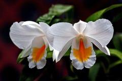 De orchidee van Cattleya Stock Fotografie