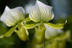 De orchidee van damepantoffels, Paphiopedilum-orchidee Royalty-vrije Stock Fotografie