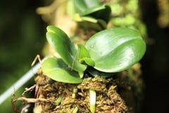De Orchidee van de babyvlinder in de Botanische Tuinen van Singapore Royalty-vrije Stock Foto