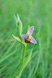 De orchidee van de berging Stock Foto