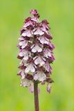 De orchidee van de dame Stock Foto