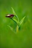 De Orchidee van de dame` s Pantoffel, Cypripedium-calceolus, die Europese aardse wilde orchidee in aardhabitat bloeien Mooi detai royalty-vrije stock afbeelding