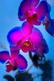 De Orchidee van de duokleur Stock Afbeeldingen