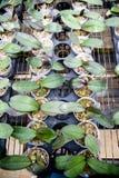De orchidee van de groei royalty-vrije stock afbeelding