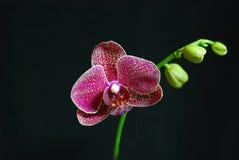 De Orchidee van de mot royalty-vrije stock afbeelding