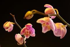 De Orchidee van de mot (orchidaceae Phalaenopsis) Stock Foto's