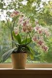 De Orchidee van de mot in venster royalty-vrije stock foto