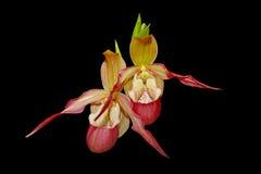 De Orchidee van de pantoffel Stock Foto's