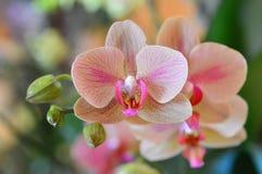De Orchidee van de Phalaenopsisvlinder Stock Afbeeldingen