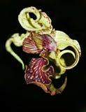 De Orchidee van Dendrobiumspectible Royalty-vrije Stock Afbeeldingen