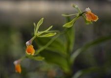 De Orchidee van Epidendrumpseudoepidendrum Stock Foto's
