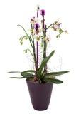 De orchidee van Kerstmis royalty-vrije stock fotografie