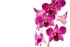 De orchidee van Lila Stock Fotografie