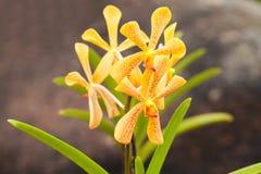De orchidee van Mokara stock afbeelding