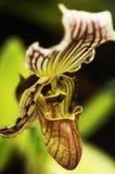 De Orchidee van Pahiopedilum Royalty-vrije Stock Foto's