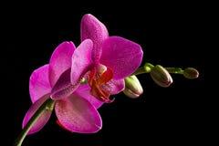 De Orchidee van Phalaenopsis Stock Afbeeldingen