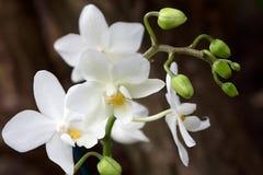 De Orchidee van Phalaenopsis Royalty-vrije Stock Fotografie