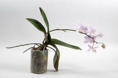 De orchidee van Phalaenopsis (vlinderorchidee) Royalty-vrije Stock Afbeeldingen