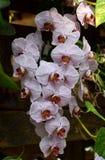 De orchidee van Phalenopsis Stock Foto's