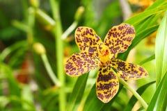 De orchidee van Vanda Royalty-vrije Stock Afbeeldingen