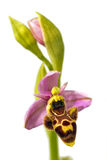 De Orchidee van Woodcook - picta Ophrys Stock Fotografie