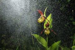 De Orchideebloei van de Ladyspantoffel in de stortbui als het sneeuwen Bloesem en waterdalingen zoals sneeuw Royalty-vrije Stock Foto