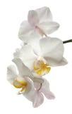 De orchideebloem van Phalaenopsis die op wit wordt geïsoleerdu Royalty-vrije Stock Afbeeldingen