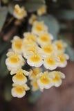 De orchideebloem van Steud van Dendrobiumlindleyi Stock Foto