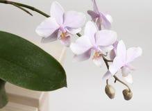 De orchideebloemen van Phalaenopsis Royalty-vrije Stock Foto's