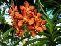 De orchideebloemen van Vanda De mooie oranje orchideeën van Vanda royalty-vrije stock fotografie