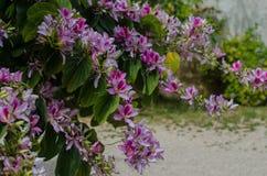 De Orchideeboom die van Bauhiniavariegata in de lente bloeien Stock Fotografie
