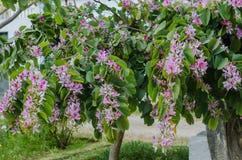De Orchideeboom die van Bauhiniavariegata in de lente bloeien Stock Foto