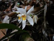 De orchideeflora van Coelogynenitida, sunakhari stock foto's