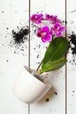 De orchideeinstallatie van Phal stock foto's