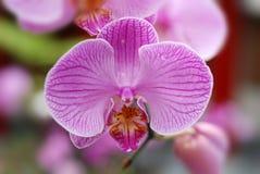 De orchideeën van de vlinder Stock Afbeeldingen